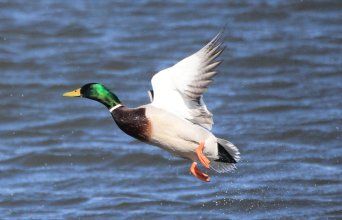 The mallard duck is commonly found on many of our National Wildlife Refuges. Photo by Krista Lundgren/USFWS. Tweeted by the US Fish & Wildlife Service, 4/24/17.