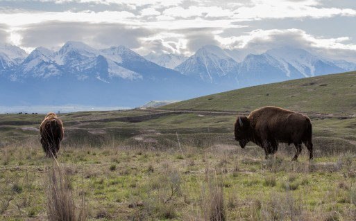 National Bison Range. Photo by Dave Fitzpatrick / USFWS. Photo taken 4/18/17 and posted on Flickr by the US Fish & Wildlife Service.