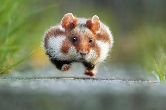 Diferența dintre șoarece și la hamster - - ȘTiință și natură