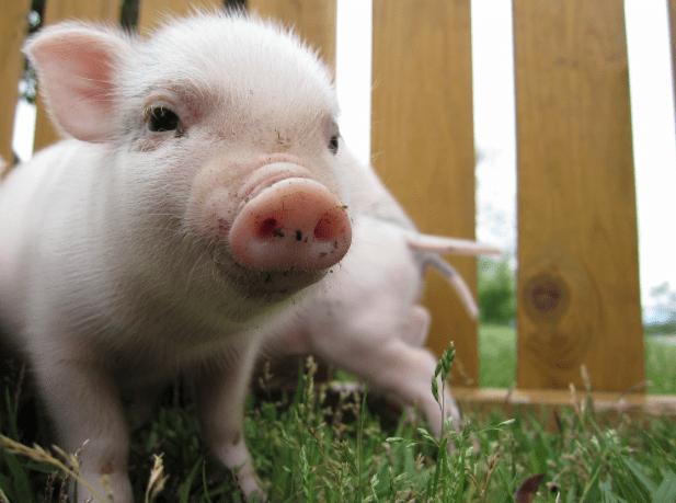 二匹の豚の赤ちゃん2