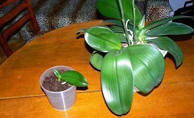 Giống hoa lan-phalaenopsis-ảnh