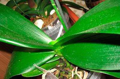 Hoa lan-phalaenopsis-ảnh