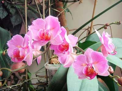 Hoa lan-lan-phalaenopsis-ảnh