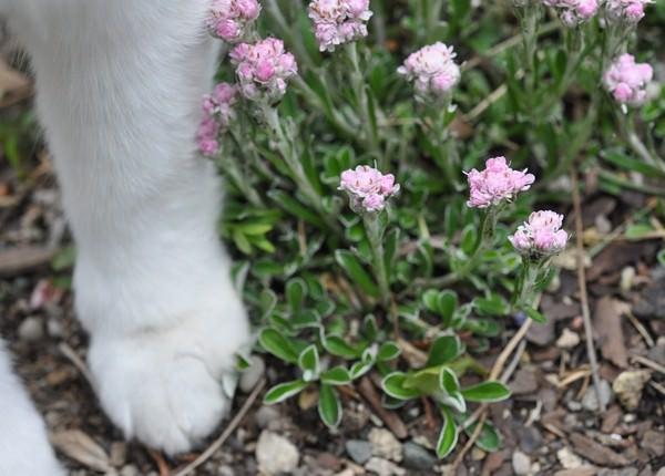 Кошачьи лапки лекарственное растение в гинекологии. Растение кошачьи лапки: состав и польза. Народная медицина: как использовать кошачьи лапки