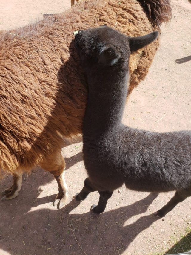 What's a Llama? Bucket List Feeding Llamas in Peru! 11 20190528 121309