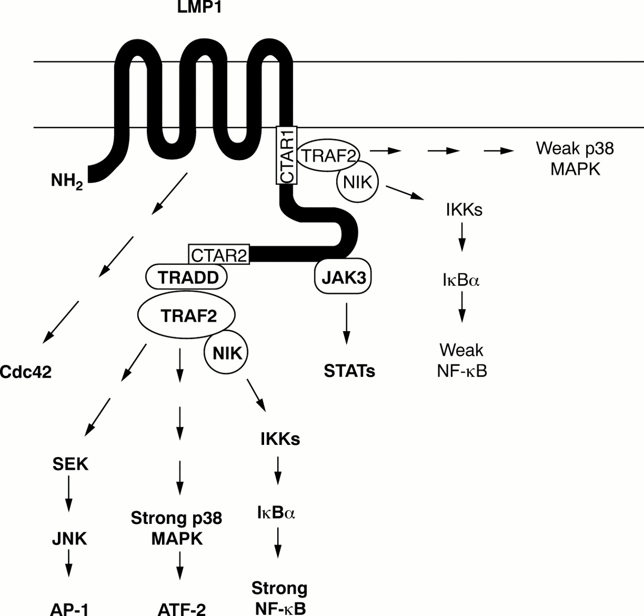 The expression and function of Epstein-Barr virus encoded