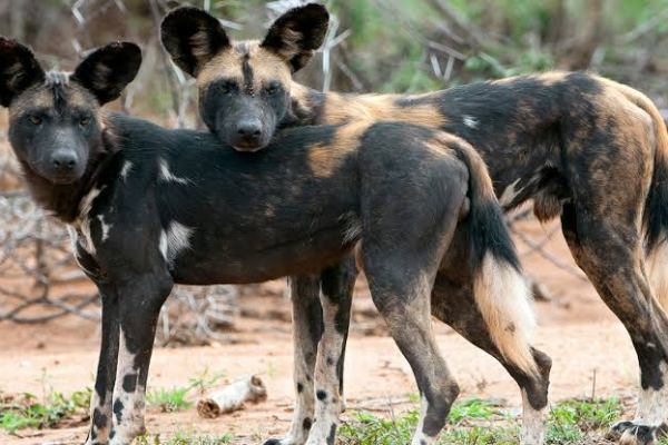 Rise of the Phoenix Pack: Mpala's African Wild Dogs Return