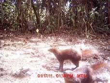 Brown-tailed vontsira