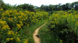Goldenrod path