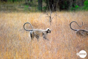 Tadoba Langurs... How to cross the road in a Jungle