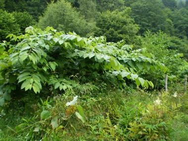 plante-invasive
