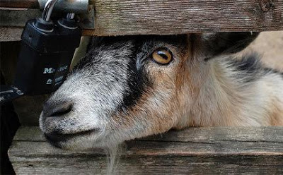 goat 70 Year Old Arrested in Katsina For Stealing Goat