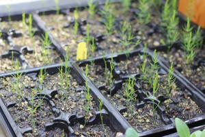 buddingplants