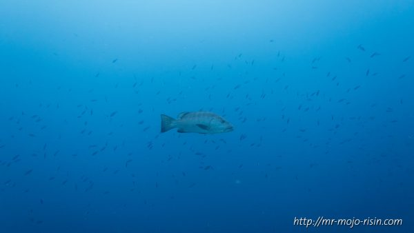 A big grouper swimming in the pelagic sea with a fish swarm