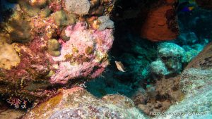 A real cute baby box fish is cautiously exploring the reef