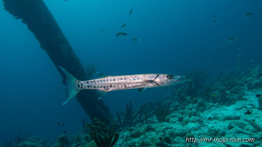 A barracuda, it was very camera friendly and by far not as grumpy as it looks