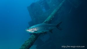 A sliver shining tarpon in front of the bridge of the Hilma Hooker