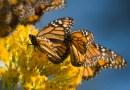 La Sorprendente Mariposa Monarca