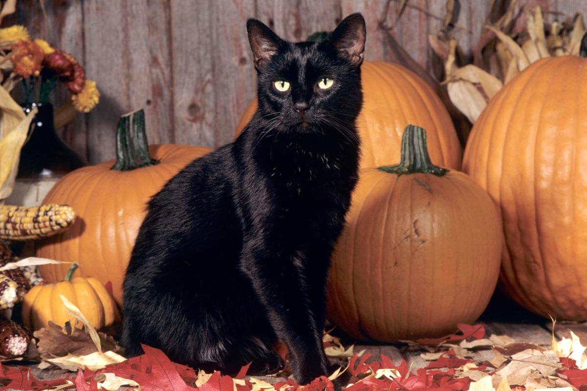 PSA: Be Kind to Black Cats This Halloween