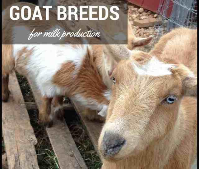 Dairy Goat Breeds 5 Best Goat Breeds For Milk Production Mranimal Farm