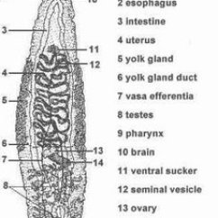 Skin Layers Diagram Labeled Simple Trailer Wiring Australia 7 Pin Flat Plathelminthes - Muscular Phylum