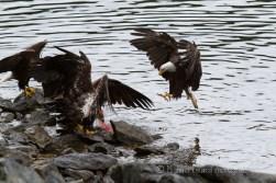 bald eagles eating salmon