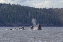 humpback whales coming out of the water