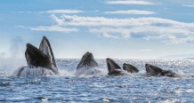 humpback whales jumping out of the water