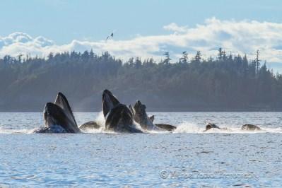 humpbacks bubble feeding