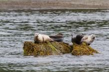 Harbor Seals on rocks at low tide in Alaska