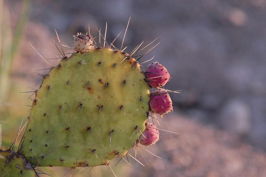 nopal-cactus-pour-perdre-du-poids