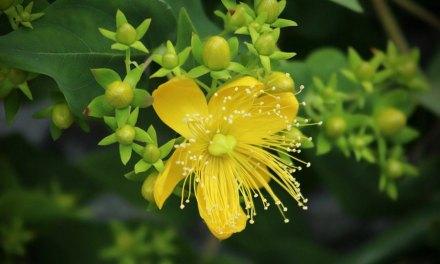 Mélatonine végétale : la solution naturelle pour retrouver le sommeil