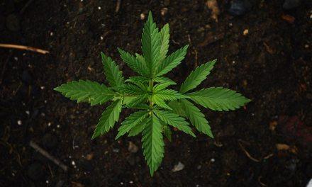 Différence entre cannabis, CBD et THC ?