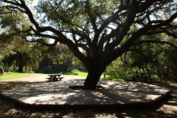 Temescal Oak Tree