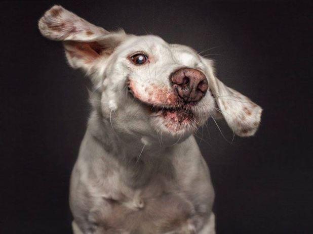 Image anh-hai-huoc-ve-khuon-mat-cua-cho-008 in post Những bức ảnh hài hước chụp khi các chú chó há mồm đớp thức ăn