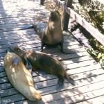 junge Seelöwenbullen gelten als aggressiv