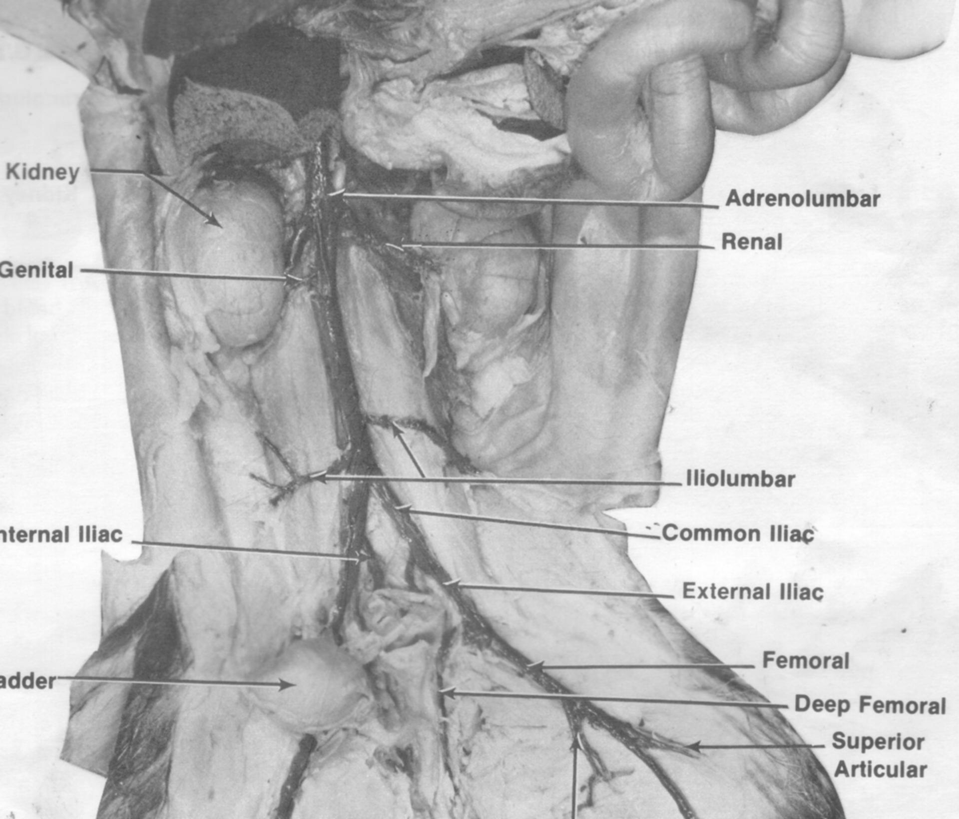 cat muscle anatomy diagram 2007 gmc sierra wiring radio untitled document mreroh