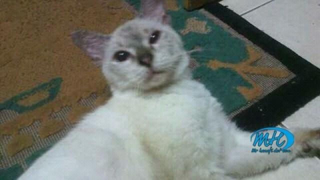 Kucing peliharaan