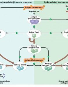 Adaptive immunity flow chart also immune system rh mrhegelblogs