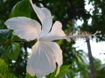 a white hibiscus indeed......the yellow beam adding a tinted bronzy glow!