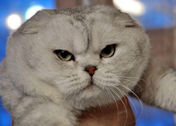 termasuk kucing tercantik di dunia chinchilla Inggris