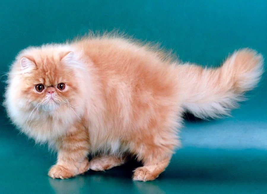 kucing persia,, termasuk kucing tercantik di dunia