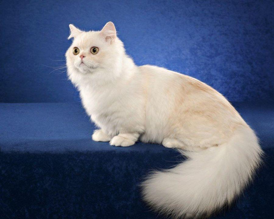 kucing napoleon