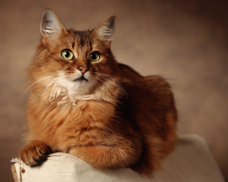 Kucing Somalia , termasuk kucing tercantik di dunia