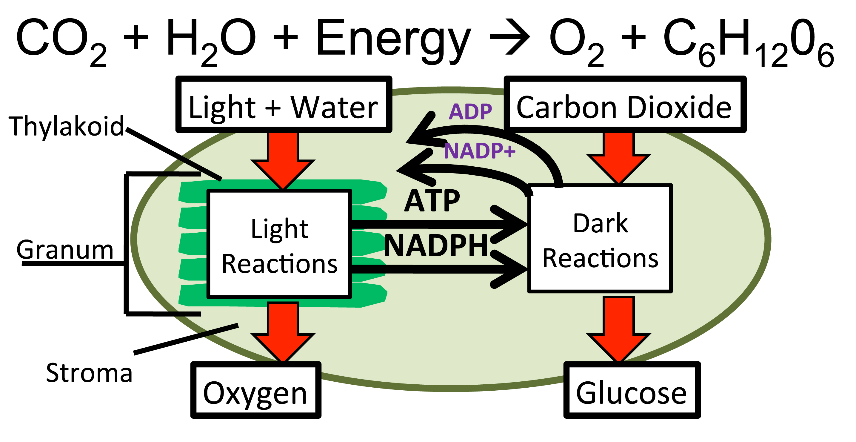 diagram with inputs and outputs of photosynthesis process 12v 10 amp battery charger circuit  mrkubuske