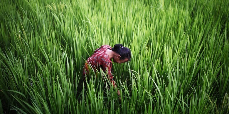 A Nepalese girl looks for snails, used for medicinal purpose, in a paddy field on the outskirts of Katmandu, Nepal, Saturday, Aug. 25, 2012. (AP Photo/Niranjan Shrestha)
