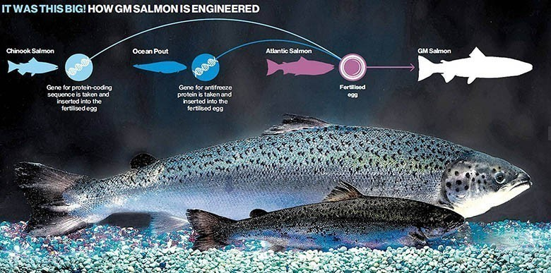 G-M-Salmon-FDA-Genetically-Modified-Fish