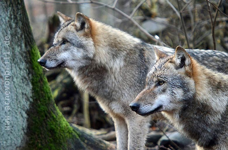 02_loups_france_tue