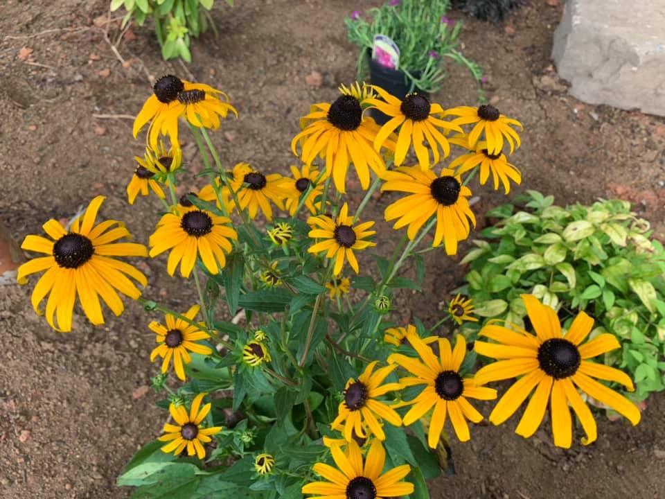 Free Perennials