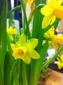 Europe's most popular pot Daff, 'Tete a Tete""